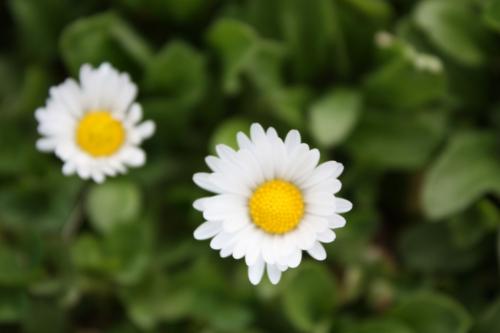 デージー チロリアン イングリッシュデージー 育て方やこぼれ種での増殖について。コモンデージーと言う名称もあります。欧州では簡単に見つけられます。